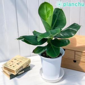 熱帯果樹 三尺バナナ 6号鉢 Musa acuminata 'Dwarf Cavendish'|planchu