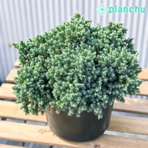 コニファー ジュニペルス ブルースター 7号ポット 庭木 常緑低木 北欧スタイル グランドカバー|planchu