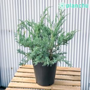 コニファー ジュニペルス ブルーカーペット 7号ポット 庭木 常緑低木  北欧スタイル グランドカバー|planchu