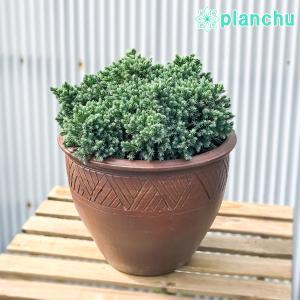コニファー ジュニペルス ブルースター タイテラコッタ鉢植え 庭木 常緑低木 北欧スタイル グランドカバー|planchu