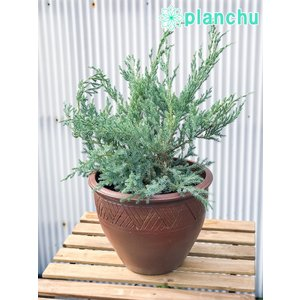 コニファー ジュニペルス ブルーカーペット タイテラコッタ鉢植え 庭木 常緑低木 北欧スタイル グランドカバー|planchu