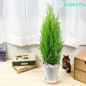 観葉植物 コニファー ゴールドクレスト ウィルマ 4号鉢 Cupressus macrocarpa 'Wilma' 庭木 植木 針葉樹 クリスマスツリー|planchu