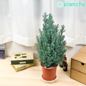 観葉植物 コニファー シルバースター 4号鉢 Chamaecyparis lawsoniana 'Ellwoodii' エルウッディー 庭木 植木 針葉樹 クリスマスツリー|planchu