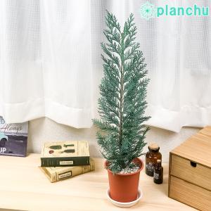観葉植物 コニファー コルムナリス 4号鉢 Chamaecyparis lawsoniana 'Columnaris' 庭木 植木 針葉樹 クリスマスツリー|planchu