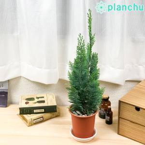 観葉植物 コニファー アルミゴールド 4号鉢 Chamaecyparis lawsoniana 庭木 植木 針葉樹 クリスマスツリー|planchu
