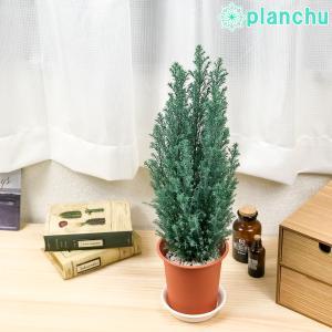 観葉植物 コニファー スノーホワイト 4号鉢 Chamaecyparis lawsoniana 庭木 植木 針葉樹 クリスマスツリー|planchu