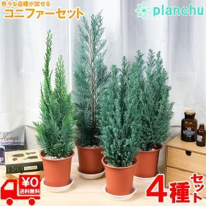 観葉植物 コニファー 4種セット シルバースター コルムナリス アルミゴールド スノーホワイト 4号鉢 庭木 植木 針葉樹 クリスマスツリー|planchu