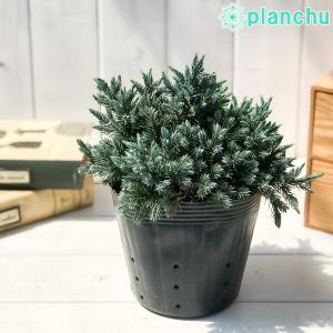 コニファー ジュニペルス ブルースター 5号ポット 庭木 常緑低木 北欧スタイル グランドカバー|planchu
