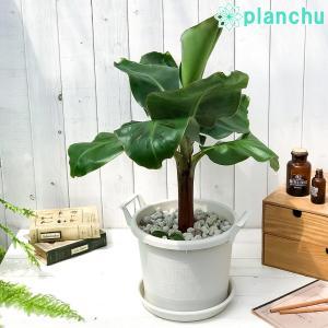 熱帯果樹 三尺バナナ 8号鉢 グロウコンテナ ホワイト 受け皿付き 説明書付き Musa acuminata 'Dwarf Cavendish' サンジャクバナナ バナナの木 観葉植物 苗|planchu