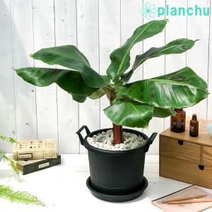 熱帯果樹 三尺バナナ 8号鉢 グロウコンテナ ブラック 受け皿付き 説明書付き Musa acuminata 'Dwarf Cavendish' サンジャクバナナ バナナの木 観葉植物 苗|planchu