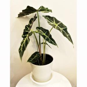 観葉植物 モンステラ ジェイド シャトルコック ピンク 陶器鉢入|planquor|02