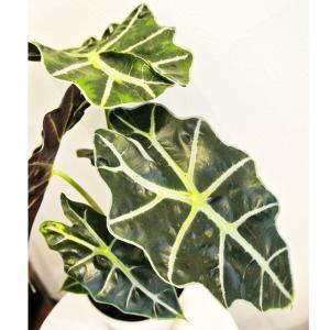 観葉植物 モンステラ ジェイド シャトルコック ピンク 陶器鉢入|planquor|03