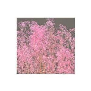 ソフトミニカスミ草・ピンク・大地農園の画像