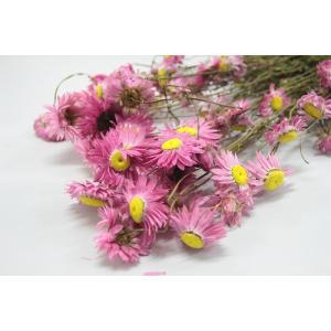 アクロクリニウム・ピンク