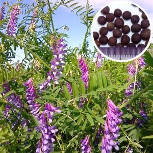 【種 10kg】 藤えもん (マッサ) ヘアリーベッチ 早生 緑肥 ミツバチの蜜源に 雪印種苗 植物 米S【代引不可】|plusys