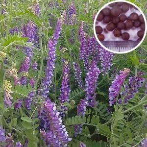 【種 10kg】 寒太郎 (サバン) ヘアリーベッチ 晩生 緑肥 ミツバチの蜜源に 雪印種苗 植物 米S【代引不可】|plusys
