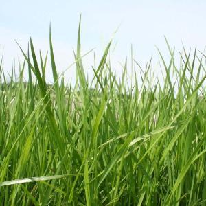 【種 2kg】 畦畔グリーン ベントグラス 芝生 種子 芝 ...