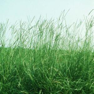 【種 4kg】 バヒアグラス ペンサコラ 果樹草生栽培用 フルーツグラス [播種期:5〜7月] 雪印種苗 米S【代引不可】 plusys