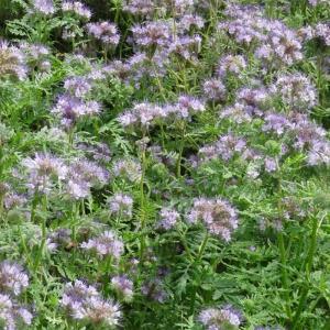 【種 3kg】 ハゼリソウ アンジェリア 緑肥 景観緑肥 雪印種苗 米S【代引不可】|plusys