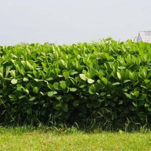 【種 5kg】 クロタラリア ネマックス 畑地 線虫対策 緑肥 [播種期:5〜7月] 雪印種苗 米S【代引不可】 plusys