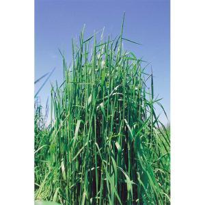 【種 5kg】 チモシー ホライズン 早生 畑地 牧草 緑肥 [播種期:4〜10月] 雪印種苗 米S【代引不可】 plusys