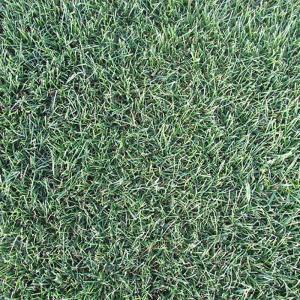 【種 10kg】 ペレニアルライグラス マンハッタン5 芝 緑化用 [播種期:3〜10月] 雪印種苗 米S【代引不可】|plusys