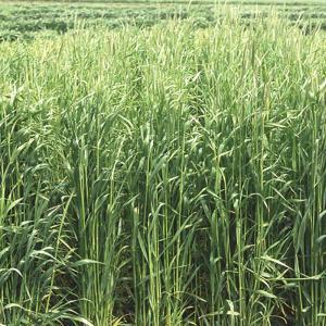 【種 12kg】 ライムギ ライ麦 春一番 極早生 酪農 畜産 緑肥 [播種期:9〜12月] 雪印種苗 米S【代引不可】|plusys