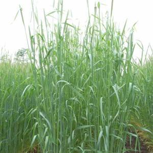 【種 14kg】 ライムギ ライ麦 R-007 中晩生 畑作 緑肥 雪印種苗 米S【代引不可】|plusys
