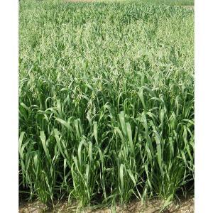 【種 14kg】 エンバク スナイパー 畑作 園芸 緑肥 [播種期:8〜10月] えん麦 雪印種苗 米S【代引不可】|plusys