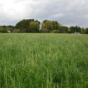 【種 10kg】 オオムギ ムサシボウ 中生 酪農 畜産 緑肥 [播種期:10〜11月] 大麦 雪印種苗 米S【代引不可】|plusys