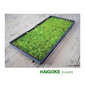 苔 [這苔] 300×450mm ビロードのような葉 苔玉 装飾資材 庭園材 アクアテラリウム 2〜...