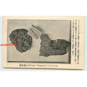 Xh5688白蟻絵葉書 ヒメシロアリの巣【絵葉書