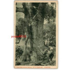 XyH1583長野? 精進湖畔 諏訪神社の大杉 *傷み有り【絵葉書