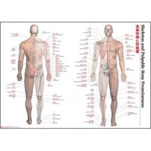 骨格 解剖図 人体解剖図 骨格 解剖 ポスター 治療院 ポスター|pocketcompany
