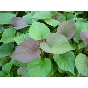 好評発売中◆朝採りサツマイモ苗◆ 安納芋 さつまいも苗 10...