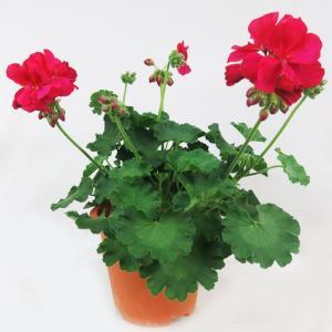 鉢花、ゼラニウム・カリオペ、ホットピンク 5号鉢。鉢底から高さ約35〜40cm。葉巾約30cm。 ・...