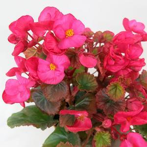 冬咲きベゴニア(クリスマス・ベゴニア) ピーターソン 4号鉢 栄養繁殖系、鉢底から高さ約30cm。 ...