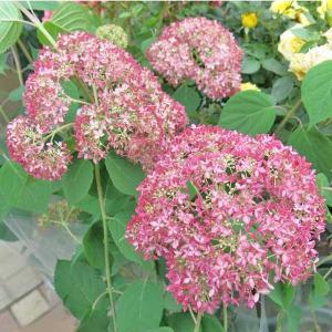 アメリカアジサイ(紫陽花)ピンクアナベル7号鉢(径約21cm)。鉢底から高さ約70〜80cm(花後、...
