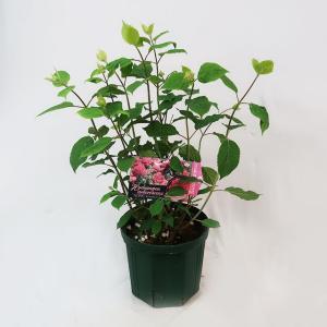 アメリカアジサイ(紫陽花)ピンクアナベル 7号鉢 入荷時つぼみ付 鉢花 花苗|potos|02