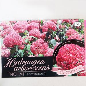 アメリカアジサイ(紫陽花)ピンクアナベル 7号鉢 入荷時つぼみ付 鉢花 花苗|potos|05