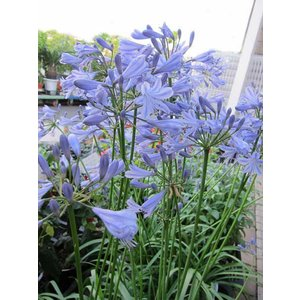 草花の苗 アガパンサス (姫アガパンサス)宿根草 5号鉢 紫花