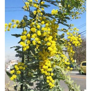 苗木 ミモザ・アカシア 銀葉アカシア 3.5号ポット 常緑樹
