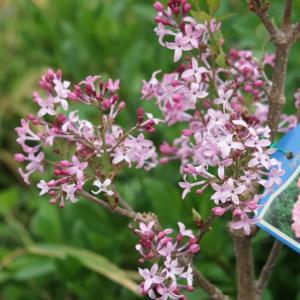ライラック(リラ)6号鉢 マーシャル 香りの花 落葉樹 接木苗、高さ約90cm。 ・モクセイ科シリン...