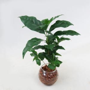 ハイドロカルチャー (コーヒーの木) ミニ丸ガラス器