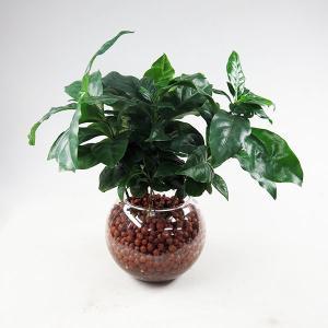 ハイドロカルチャー (コーヒーの木) 丸ガラス器