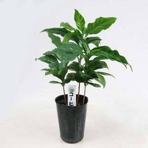 観葉植物 コーヒーの木 2号ポット
