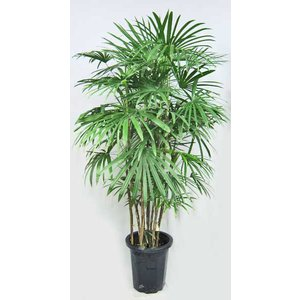 観葉植物 シュロチク 棕櫚竹 しゅろちく 10号鉢(大型商品)|potos