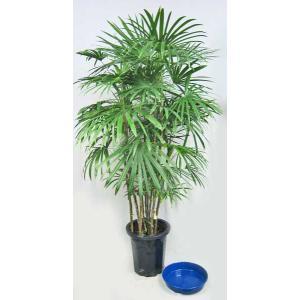 観葉植物 シュロチク 棕櫚竹 しゅろちく 10号鉢 (受皿付)(大型商品)|potos