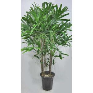 観葉植物 カンノンチク 観音竹 10号鉢(大型商品)|potos