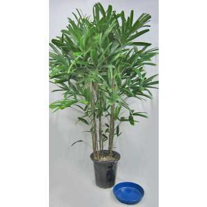 観葉植物 カンノンチク 観音竹 10号鉢 (受皿付)(大型商品)|potos
